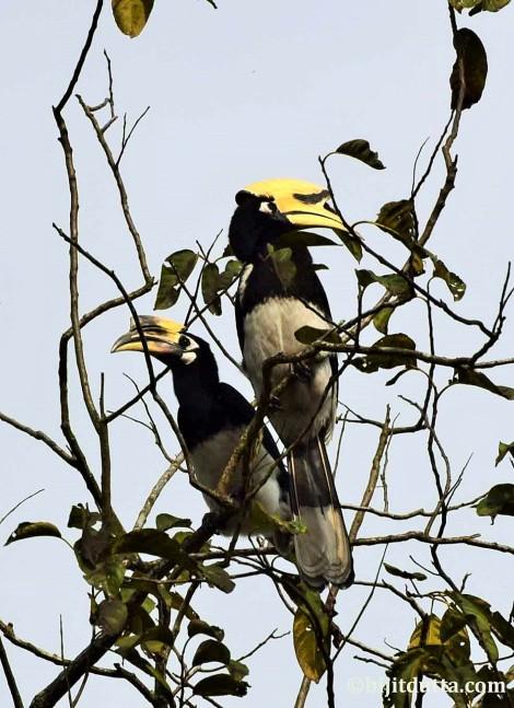 Hornbill Chetia Gaon (2)